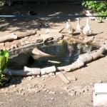 lago con gansos