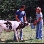 alimentando vaca